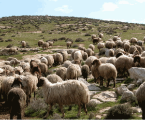 flock of sheep in israel