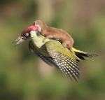 2645925100000578-2977184-The_incredible_photograph_shows_the_tiny_brown_weasel_clinging_t-a-16_1425378723824_kindlephoto-15682473