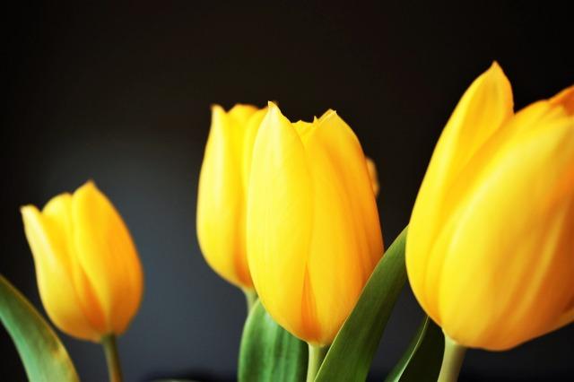 tulip-1031514_1280